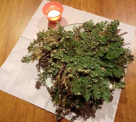 Prayers and workings with the Rose of Jericho / Doradilla Flower ...