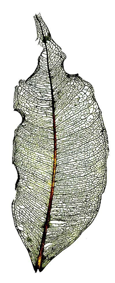https://flic.kr/p/aTLHie | Skeleton leaf | ..... from under our garden hedge