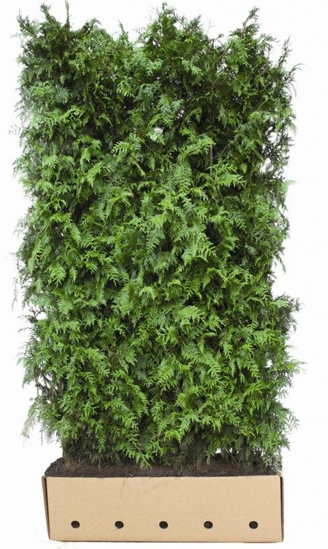 QuickHedge - instant hedges evergreen - Thuja occidentalis Brabant  WHITE CEDAR BRABANT. Dark green compact evergreen hedge. Grows very beautiful dark green shiny leaves. An optimum soil for this conifer is a moist, permeable limy soil rich in humus.  IMPORTANT: This hedge is winter hardy, wind-resistant and suitable for city climates. Easy to trim. Trim preferably in summer. NL: Levensboom Brabant, DE: Lebensbaum Brabant, FR: Thuja du Canada Brabant