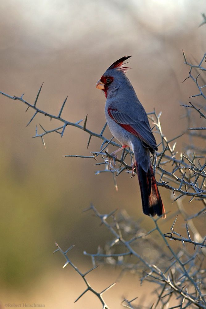Desert Cardinal on thorny branch......so beautiful and different than the Northern Cardinal!