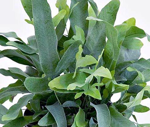 blue star fern green space pinterest ferns stars and names. Black Bedroom Furniture Sets. Home Design Ideas