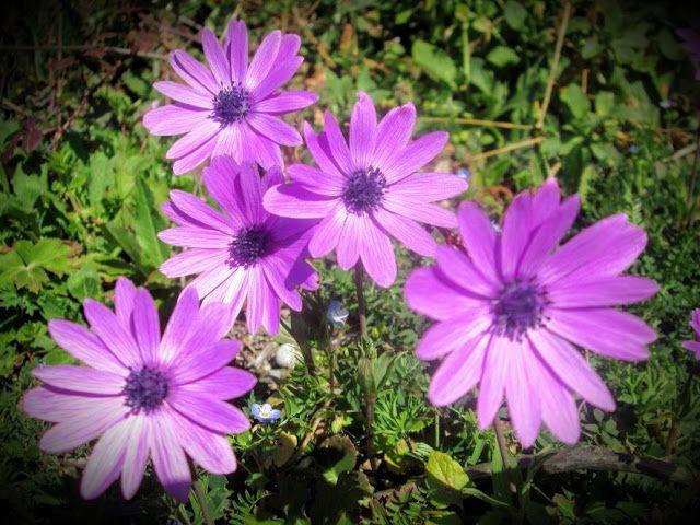 Raccontare un paese: dal mio orto: anemoni spontanei