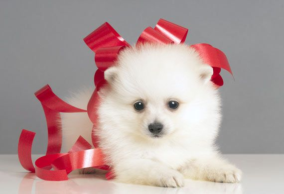 Maltese Dogs - Pictures, Breed Info & Care Tips | petMD | petMD