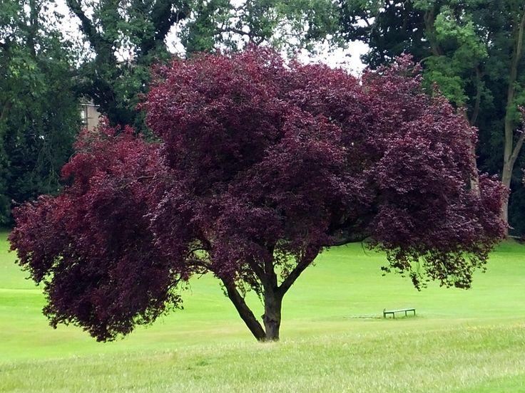 prunus cerasifera nigra the purple leaf plum at. Black Bedroom Furniture Sets. Home Design Ideas