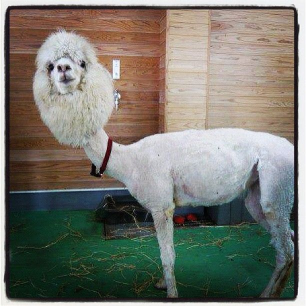 Feeling low? Here's a picture of a shaved llama to make you feel better :)