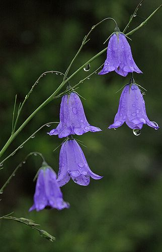 Harebell flowers (@bsimmons3273 my flowers that i swear bloomed but are now just green happy leaves)