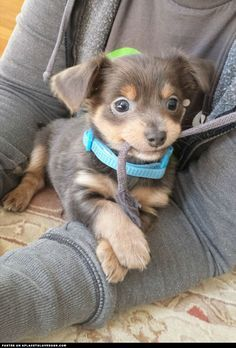 Adorable puppy Charlie's first day home. This little guy is a Chihuahua-Dachshund mix and weighs a whole 3 pounds