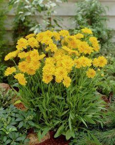 Кореопсис — солнышко в саду. Очаровательный яркий кореопсис способен радовать цветением весь сезон — с конца весны до начала осени. У него множество удивительно сочных по тону цветков. Стебли, несмотря на внешнюю хрупкость, упругие, в опоре не нуждаются. Растение неприхотливо. Фото: © 99roots