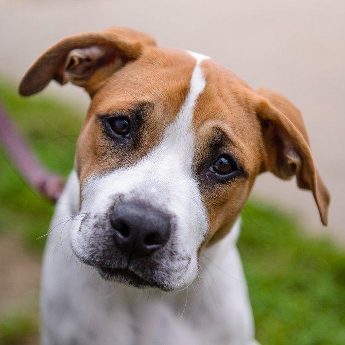 Rolo, a male american bulldog mix @Jillian Z.. Layla's new bro?