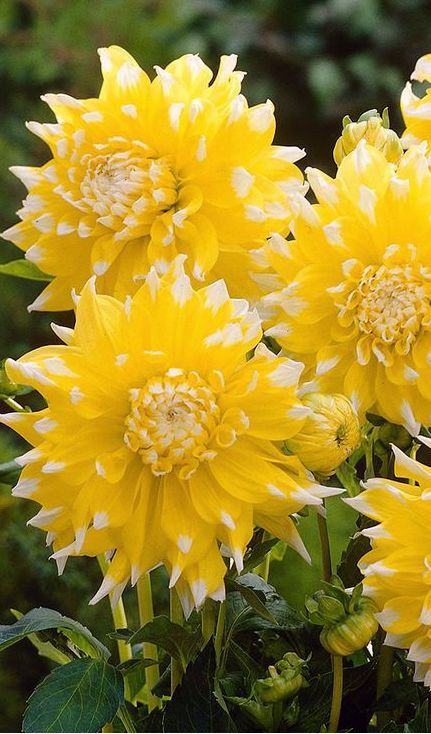 Dahlia Grand Prix | Dinnerplate variety that produces the largest flowers of all dahlia varieties - up to a huge 10 inches. Bright sunny yellow with white petal tips | JParkers #flowers