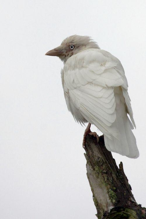 Cuervo albino de ojos azules