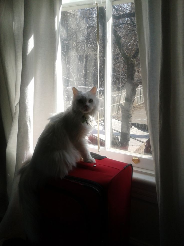 Snow White #Feles #WhiteCat #AngoraTurkish