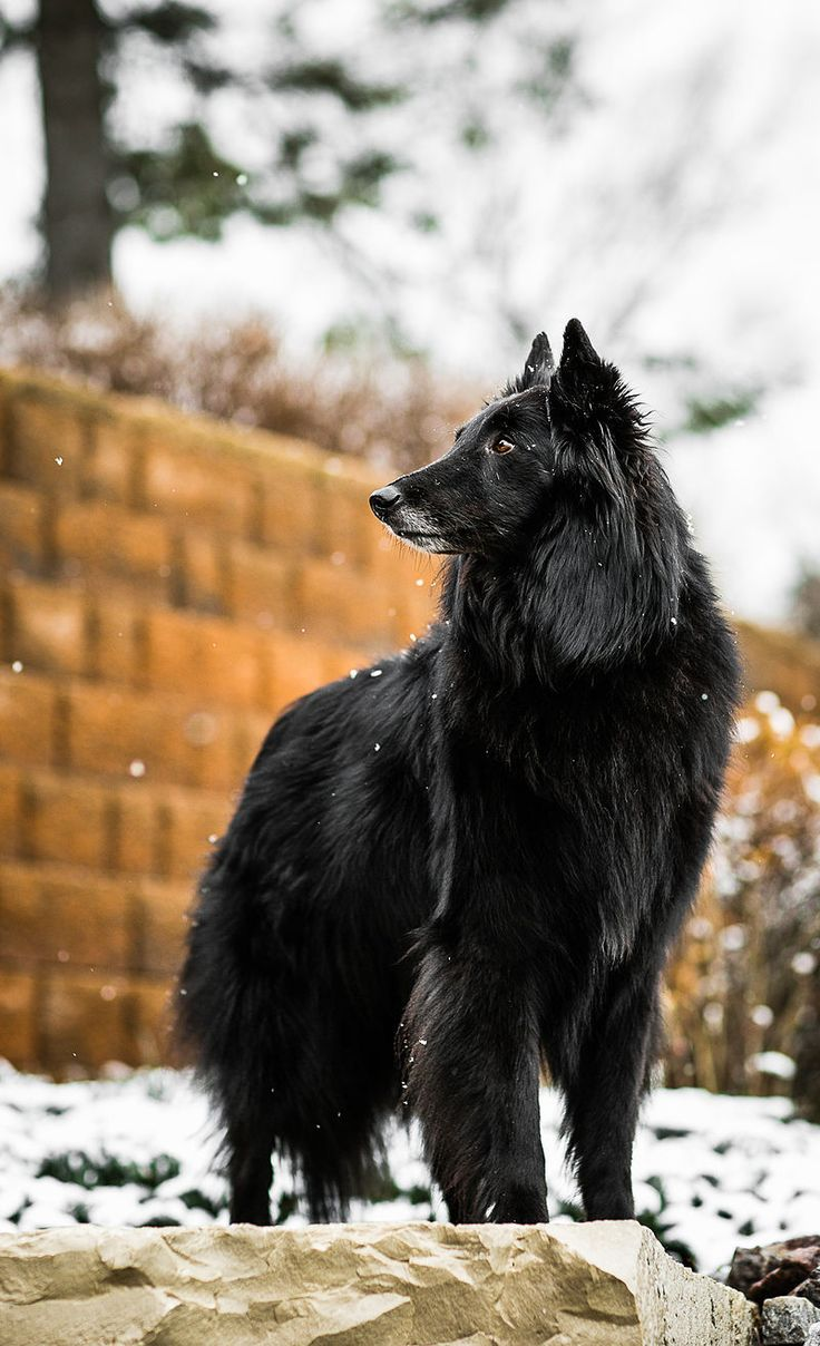 Groenendael > From Belgium ...... Use today: Companion, watchdog