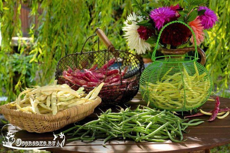 Выращивание зеленостручковой (туршевой) фасоли, как правильно посадить и вырастить, сроки и время посадки спаржевой фасоли, лучшие сорта, а также хитрости и секреты…
