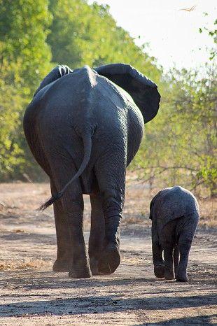 Mum and baby #elephant #ManaPools #Zimbabwe #safari