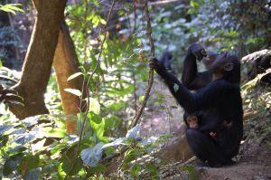 Gombe Reserve, Tanzania, 2008, Allison Smith