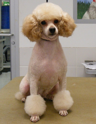 17 Best Images About Poodle Cuts On Pinterest The