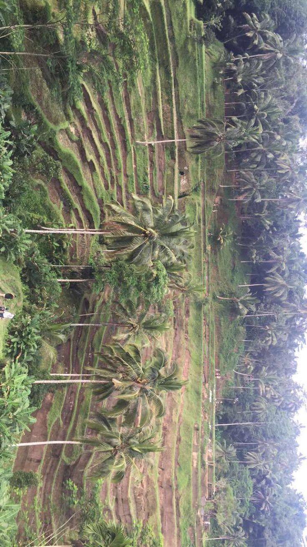 Rice fields - Bali Ubud
