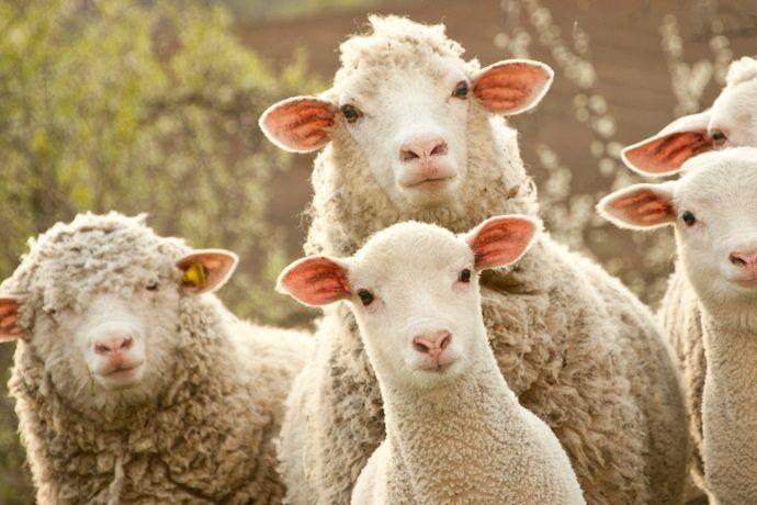 Die meisten Menschen teilen den Irrglauben, Schafe zu scheren sei notwendig, da die Tiere sonst unter zu viel Wolle litten. Dass der Grund für dieses übermäßige Wollwachstum der Mensch ist, genauer gesagt vom Menschen initiierte Qualzüchtungen, wissen hingegen die wenigsten. – Sa Ol