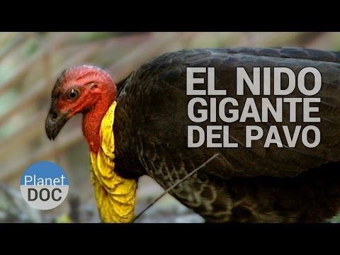 Nido Gigante del Pavo Australiano   Animales Salvajes - Planet Doc - YouTube