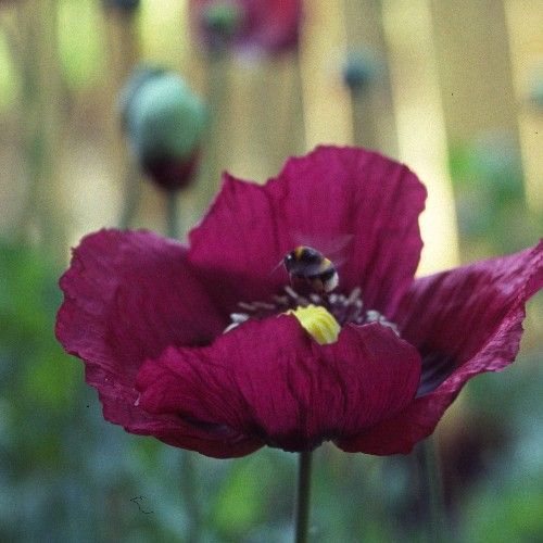 Papaver somniferum 'Dark Plum' | Silene