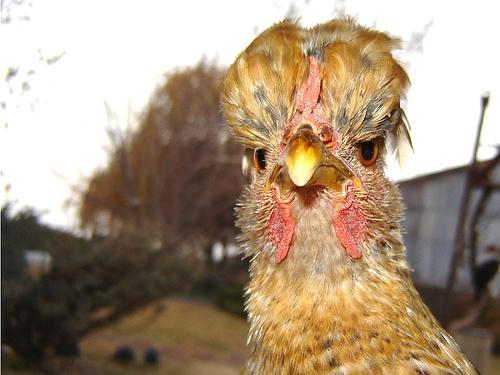 Lovely Tufted Hen