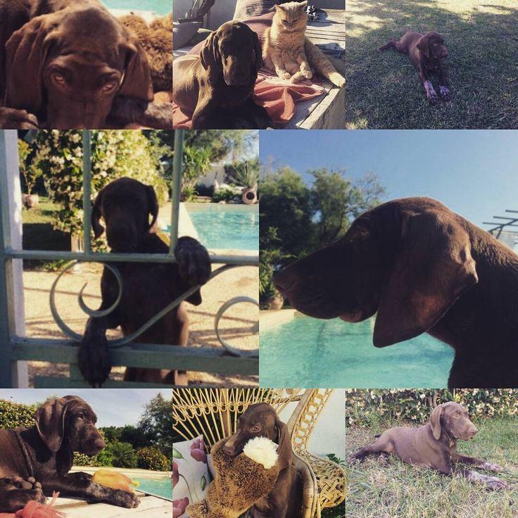 """📰 """"Telle mère telle fille"""" 💕 🌞🐾 Des nouvelles de N'PURDEY d'An Naoned de Camargue ! Femelle Braque allemand née le 26/03/17 (Flower du Domaine du Framire x Hunter) 📷 Mme et Mr Decreus  #braqueallemand #gsp #puppy #pup #cute #piscine #pool #dog #pet #cani #hund #deutschkurzhaar #welpen #sun #camargue #mas #cat #doglovers #doglove #dogpics #petpics #amourdechien #purdey"""