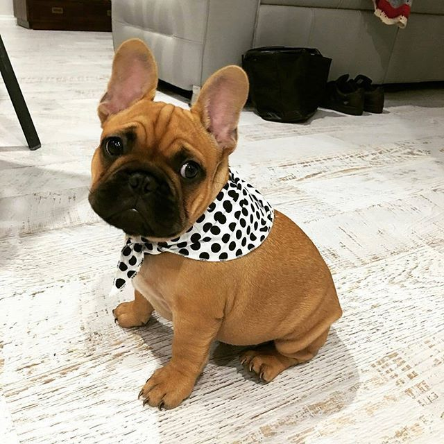 Archie The French Bulldog Puppy By Archie Frenchie On Instagram