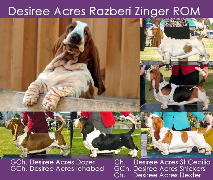 555 Best Images About Basset Hounds The Funniest Dog On