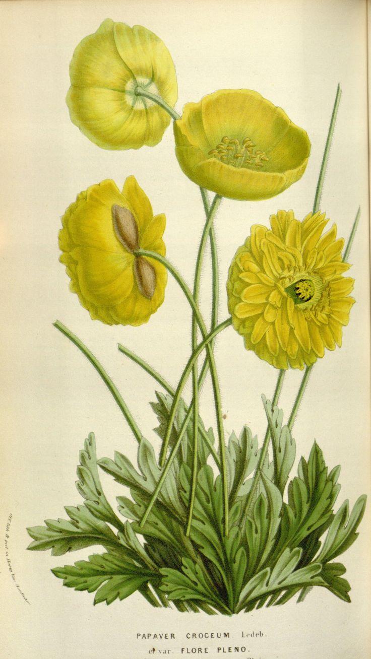 Papaver nudicaule var. flore pleno - circa 1855. Antique botanical yellow poppy…