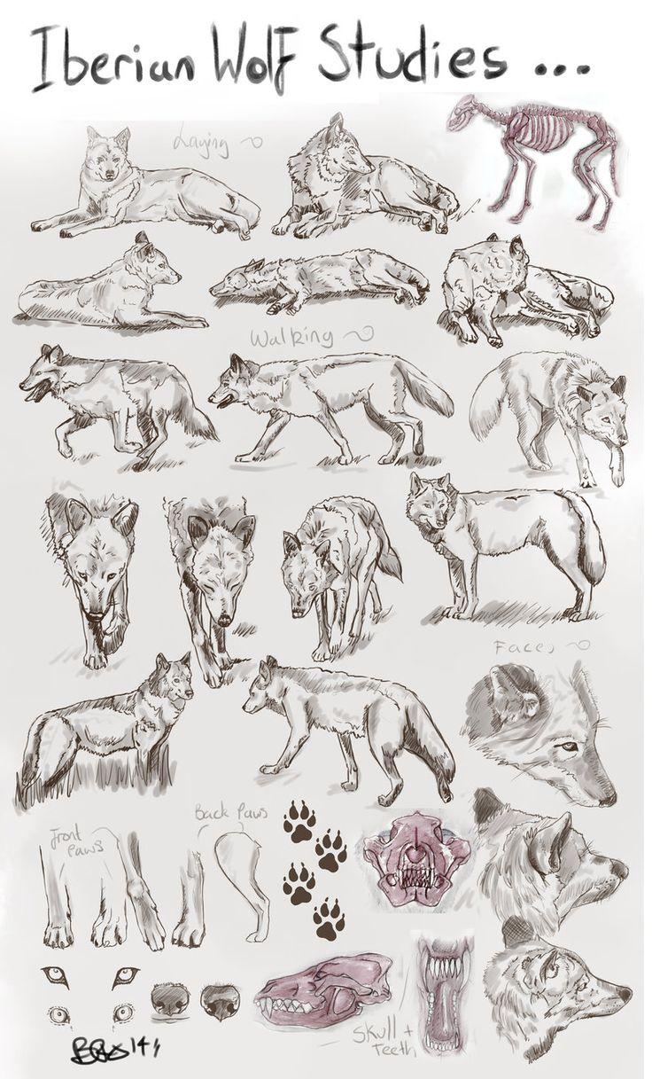 Iberian Wolf Studies:: by Tebyx on DeviantArt