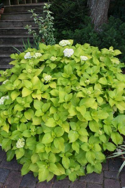 "Mophead Hydrangea for sale buy Hydrangea macrophylla 'Lemon Daddy' PP17,660: Zone: 6a to 9b, Height: 36"" tall Culture: Part Sun to Light Shade Origin: Japan Pot Size: 3.5"" pot (24 fl. oz/0.7 L) http://www.plantdelights.com"