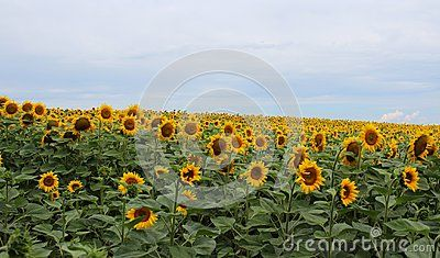 Lots of sunlowers on a field