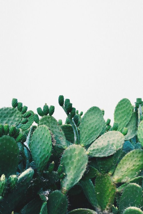 Prickly Pear Cactus || vibrant and green