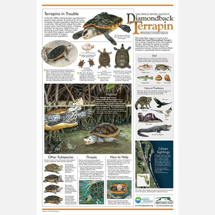East Coast Diamondback Terrapin poster