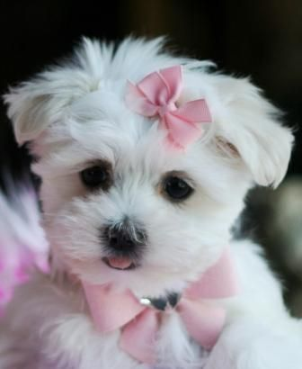 I want this teacup dog soo bad if I get one i'm gonna buy a tiny coach purse and carry it around everywhere lol.