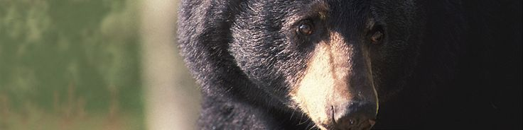Great Smoky Mountains... Breathtaking. Approximately 1,500 black bears live in the national park.