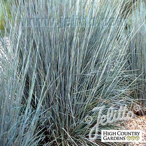 This western selection of Little Bluestem has gray-blue foliage and a strong, upright habit. This native prairie grass provides seeds for birds and are beneficial for many butterfly species. Drought resistant/drought tolerant plant (xeric).