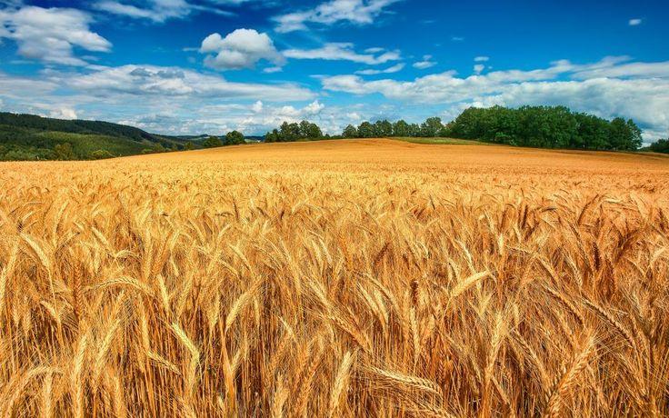 Il grano canadese che arriva in Europa fa parte dei rifiuti che finiscono sulle nostre tavole #alimentazione #salute #grano #rifiuti