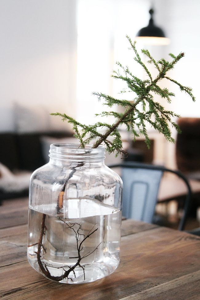 Baby Christmas Tree (picture by Caisa K)