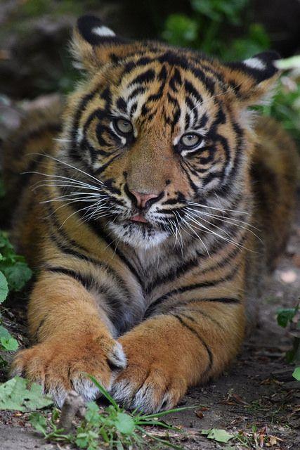 Sumatran tiger cub @ Zoo de Beauval | by Maxime de Boer