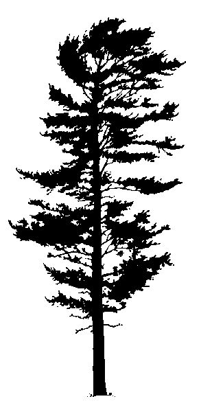 Silhouette - eastern white pine