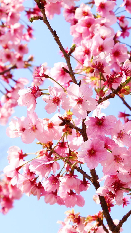 Sakura Kirschblute Iphone6 Wallpaper Landscapepics Sakura Kirschblute Iphone6 Wallpaper Cherry Blossom Wallpaper Spring Wallpaper Nature Wallpaper