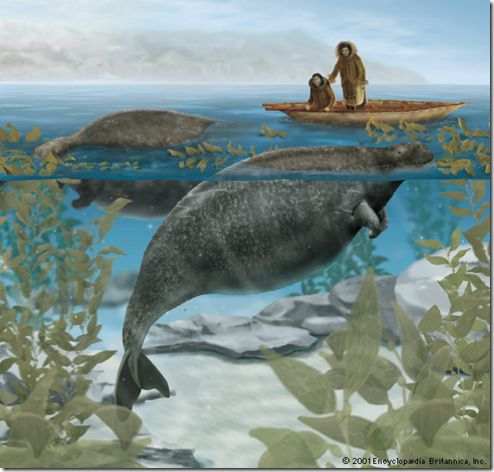 The Steller's sea cow (Hydrodamalis gigas) was a large, herbivorous marine mammal. It was the largest member of the order Sirenia. It was first described in 1741. Within 27 years of discovery by Europeans, the slow-moving and easily captured Steller's sea cow was hunted to extinction.