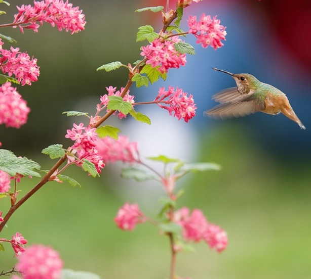 Hummingbird On Flowering Bush