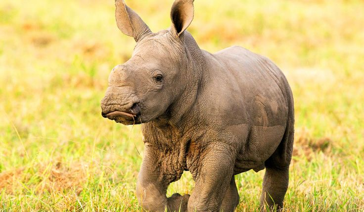 Baby #rhino near Ulusaba Rock Lodge, in Sabi Sands West in the Kruger area of South Africa. africatravelresource.com