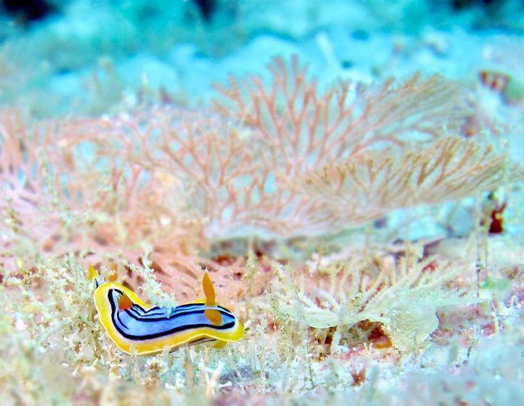 森を進むキベリクロスジウミウシ。  walking coral forest    #ウミウシ #キベリクロスジウミウシ #沖縄 #ダイビング #スキューバダイビング #水中写真 #水中カメラ #水中マクロ   #chromodoris #underwaterphotography #scubadiving #diving #canon #sea #seaslug #coral #underwaterphoto #nature #okinawa #divermag #water_of_our_world #nudibranch