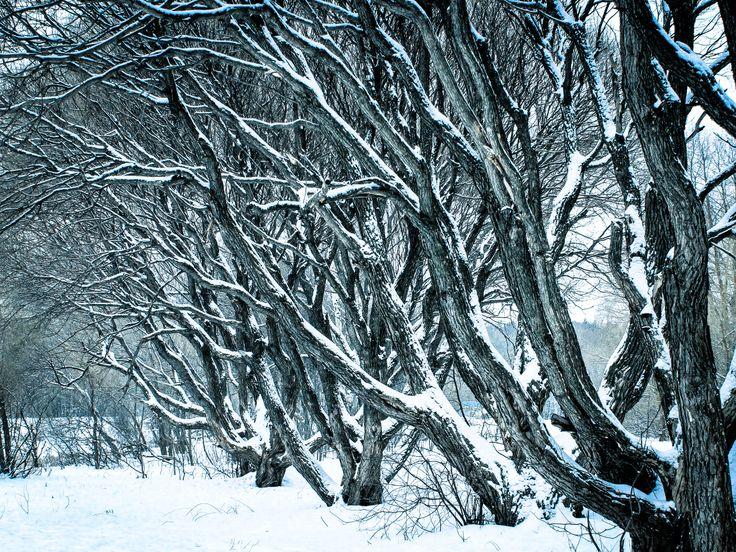 Зимние деревья.