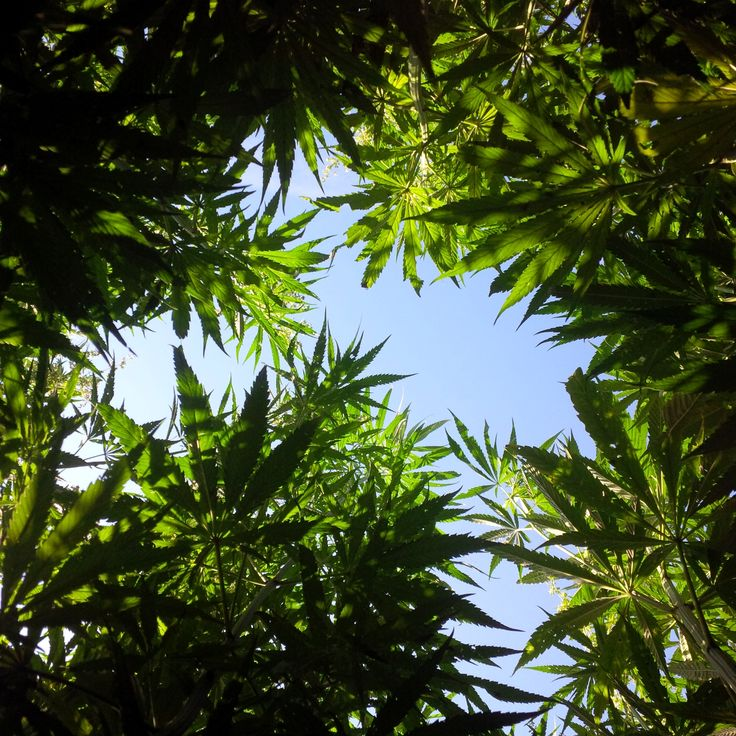 hemp sky