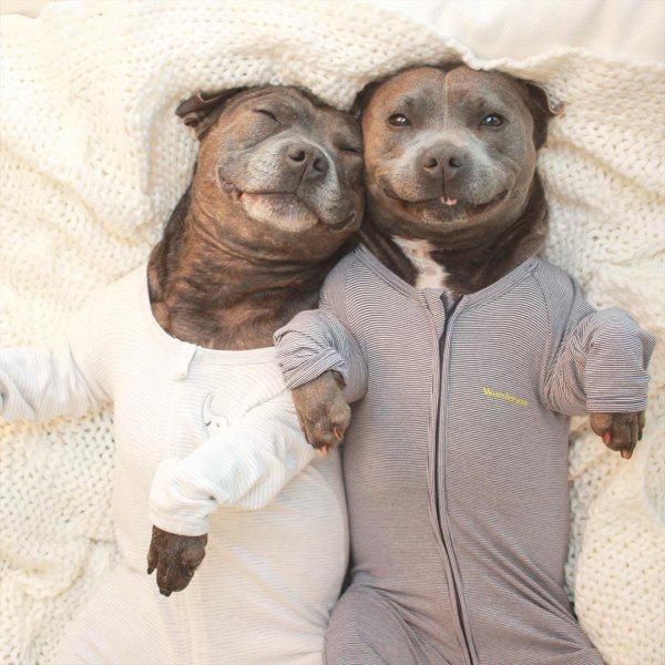 cute pit bulls adorable photoshoot 11 These two pit bulls are thick as thieves (16 Photos)